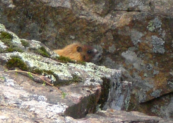 Marmotte Custer State Park