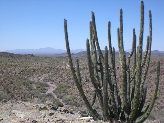 Organ Pipe Cactus NM cactus