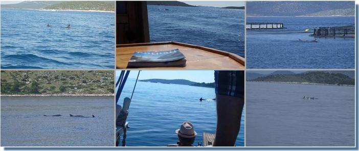 dauphins de l'Adriatique dans les Iles Kornati