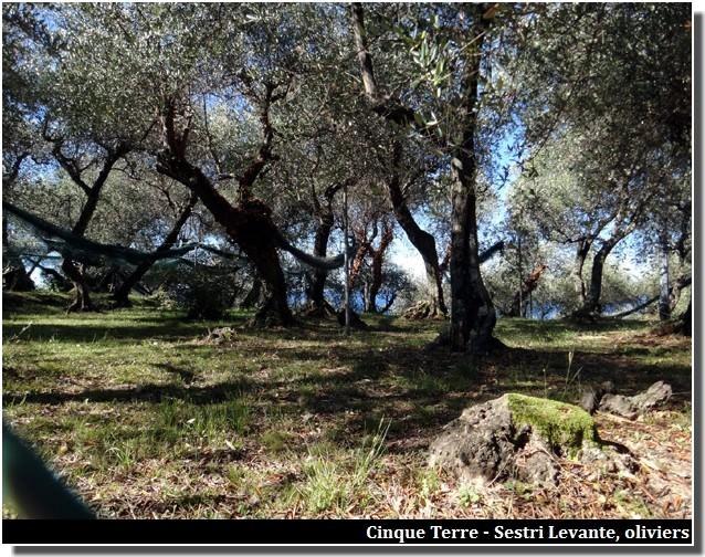 cinque terre oliviers sestri levante