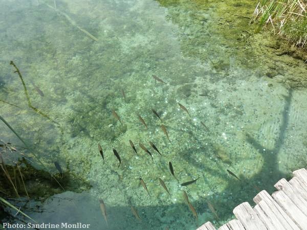 poissons dans les lacs de Plitvice