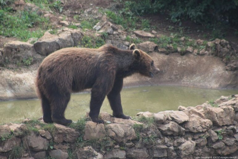 ours observé dans le refuge de Kuterevo en Lika Senj