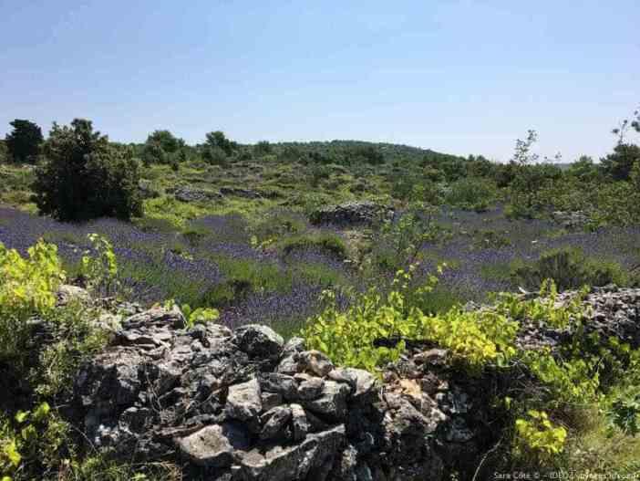 champs de lavande au centre de l'ile de hvar