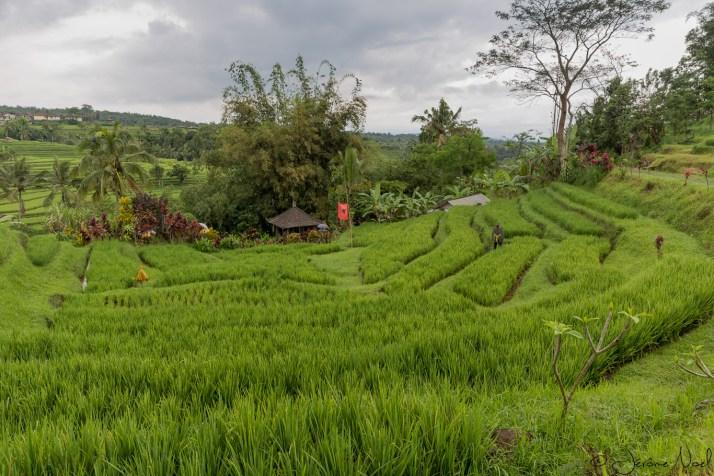 Jatiluwih - rizières