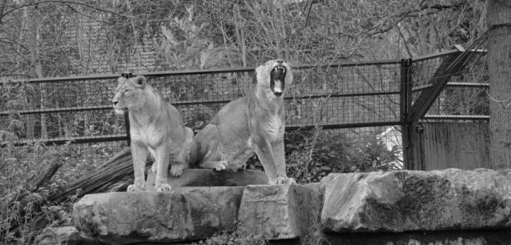 lionnes planckendael baille