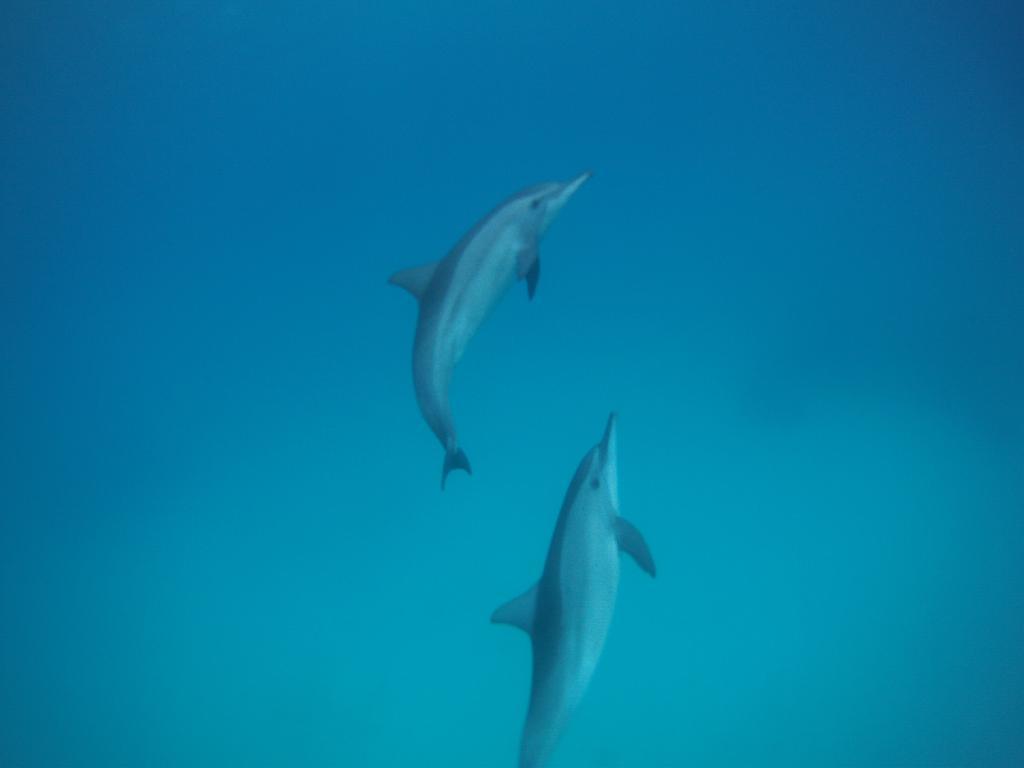 dauphins mer rouge