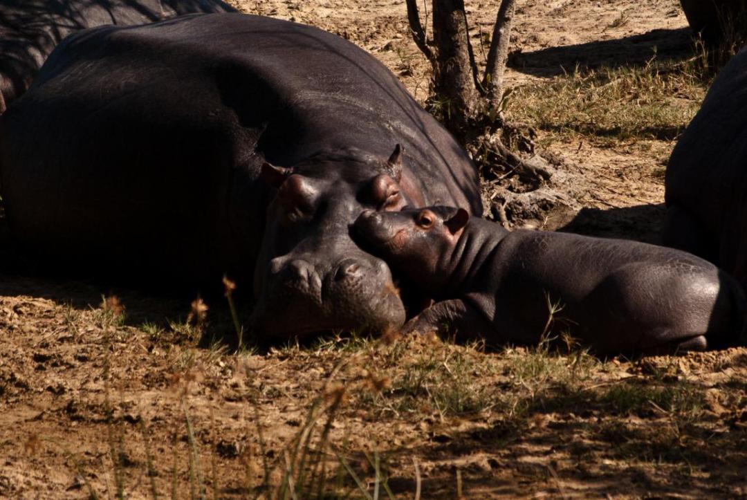 Hyppopotames Afrique du Sud