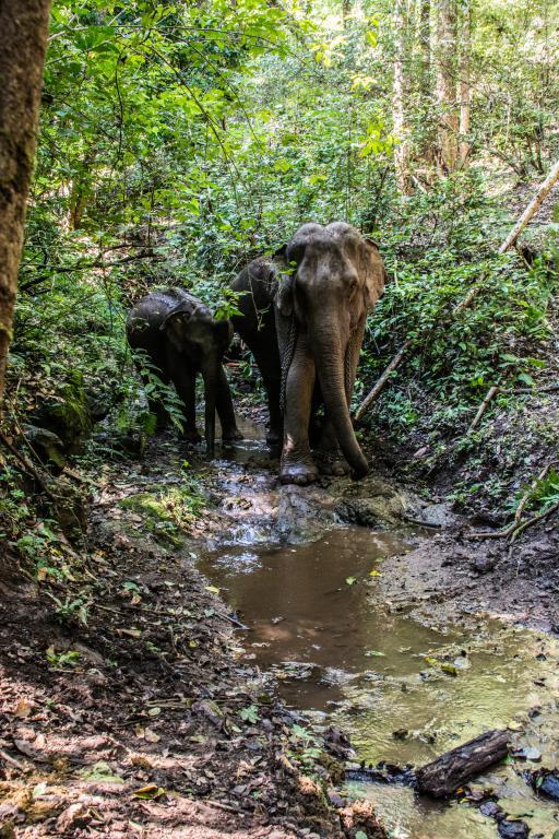 éléphants d'Asie réintroduits dans la forêt