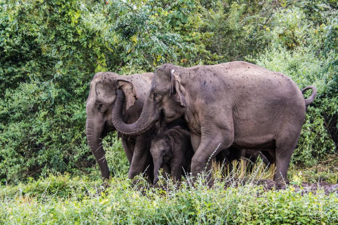 famille éléphants d'Asie