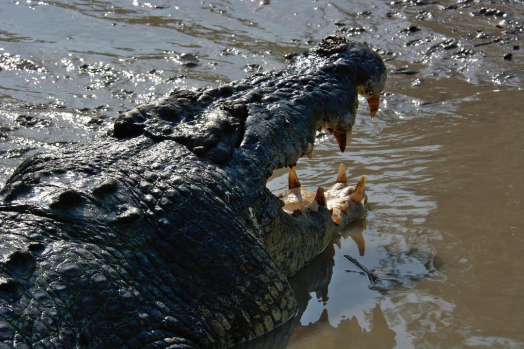 crocodiles des animaux sauvages dangereux