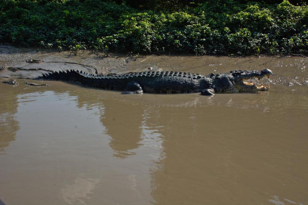 crocodile animal sauvage australie