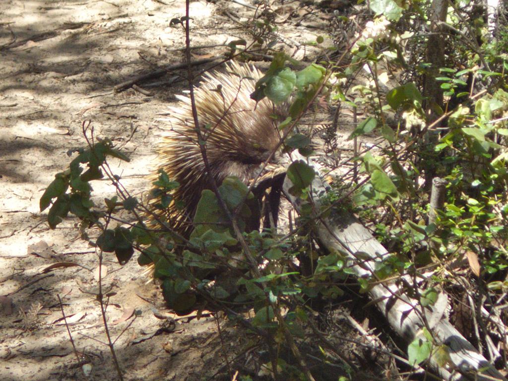 échidna en Australie animal sauvage étrange