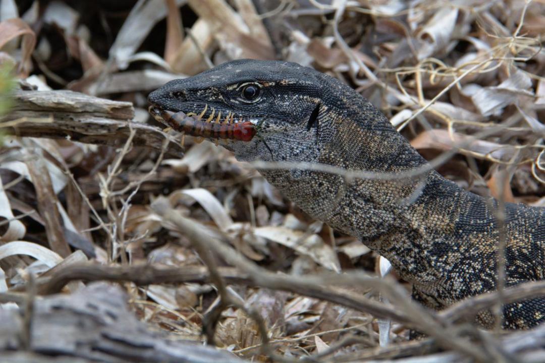 les varans sont des animaux sauvages d'Australie
