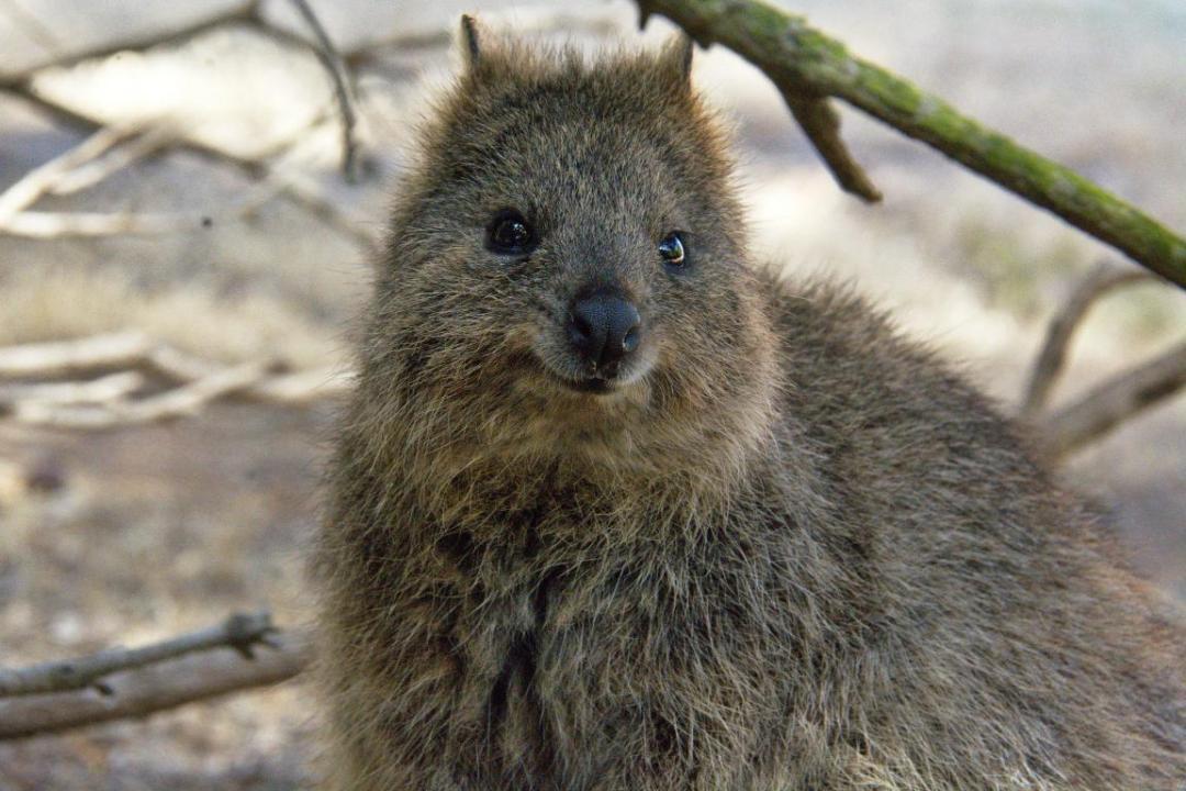 le quokka petit animal sauvage d'Australie