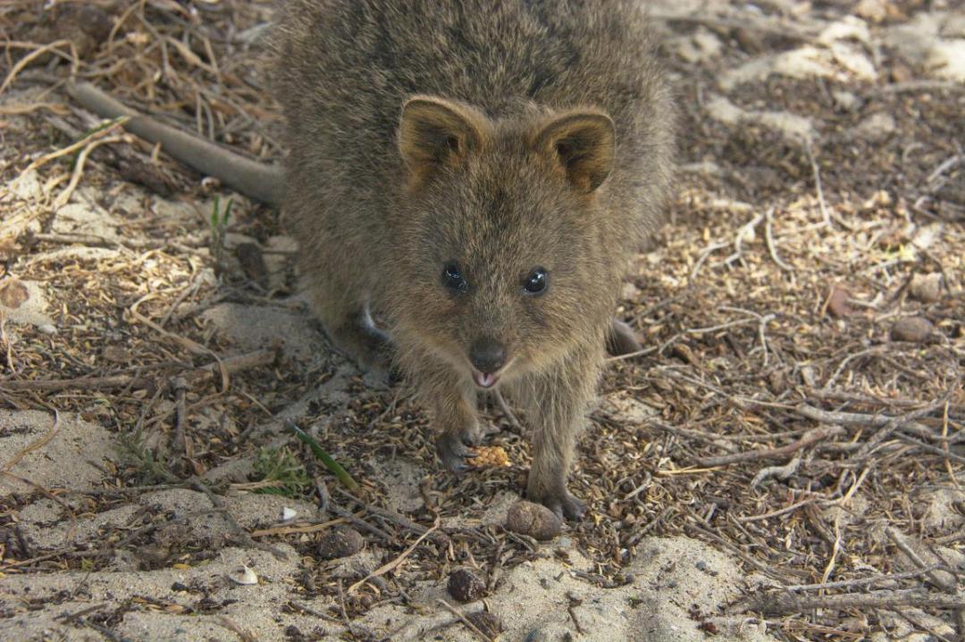 d'autres animaux sauvages d'Australie, le quokka