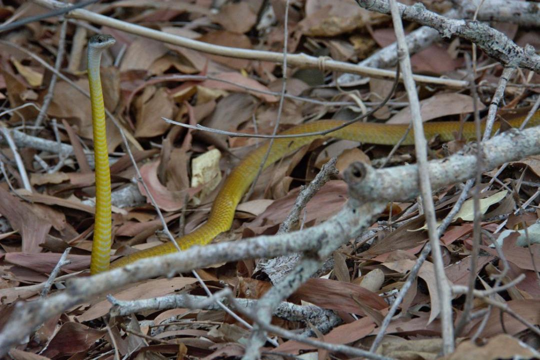 le serpent fait partie des animaux sauvages les plus dangereux en Australie