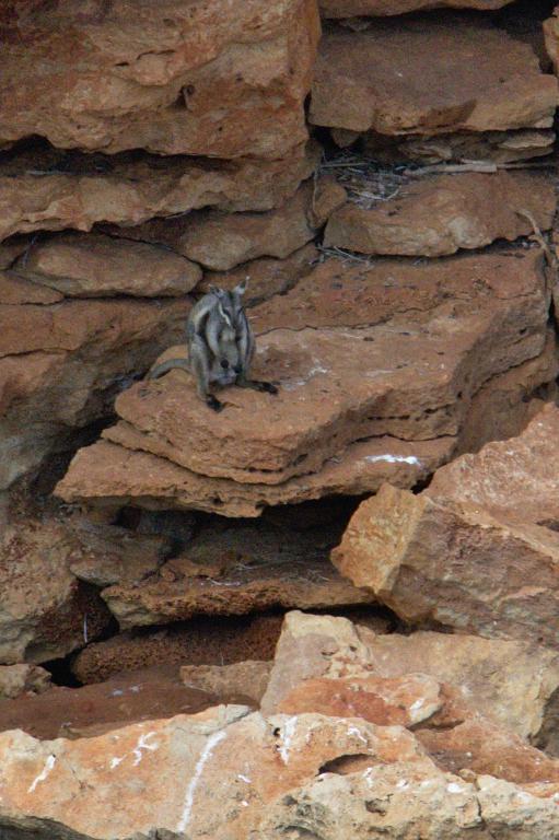 wallaby des rochers en australie