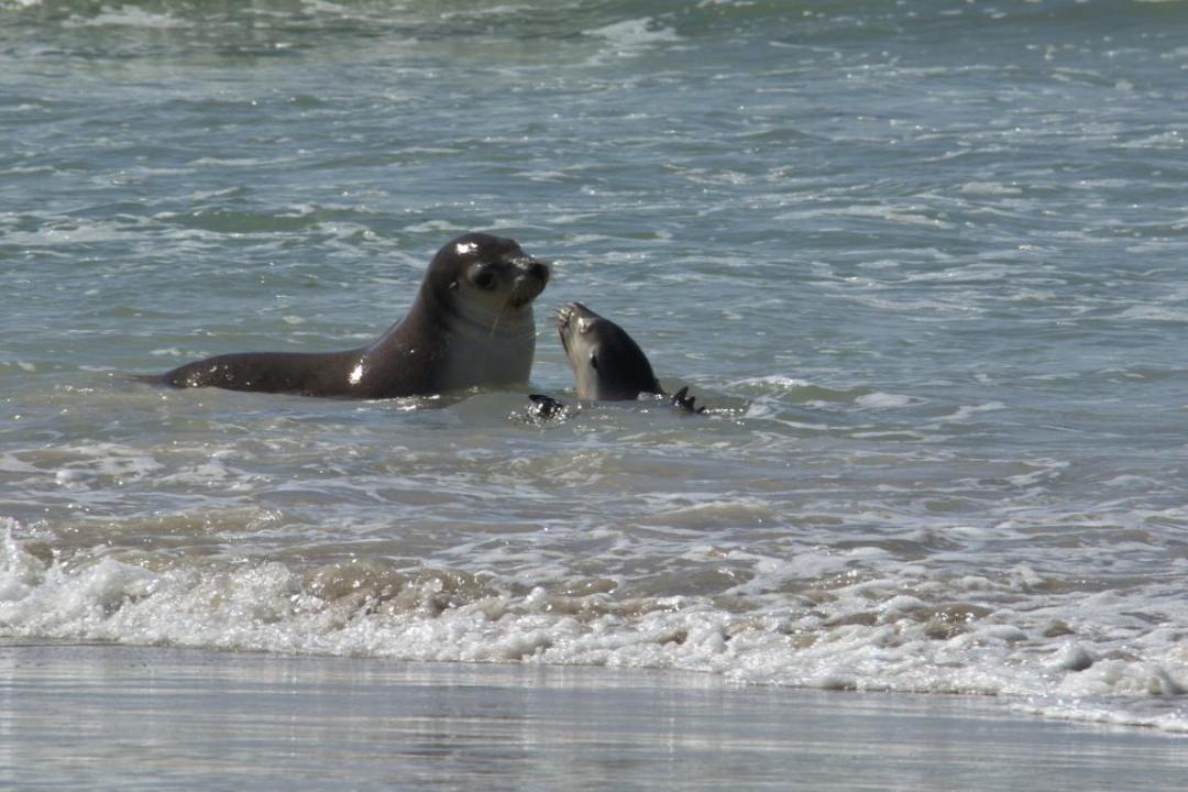 des lions de mer sauvages qui jouent dans l'eau