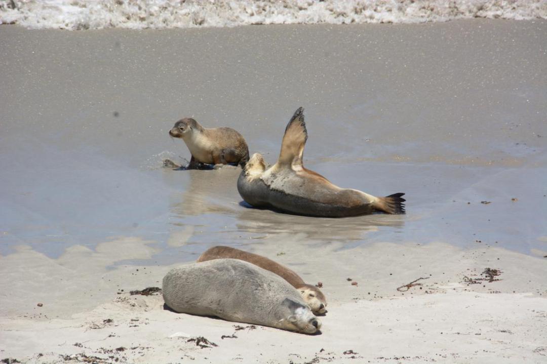 lions de mer, des animaux sauvages marins