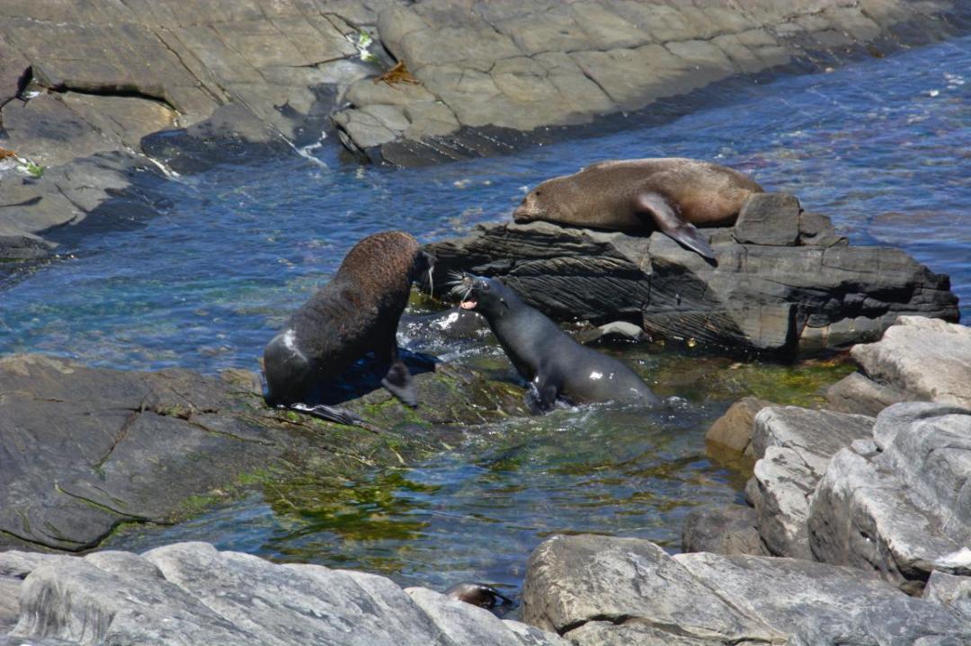 des otaries sauvages qui se baignent