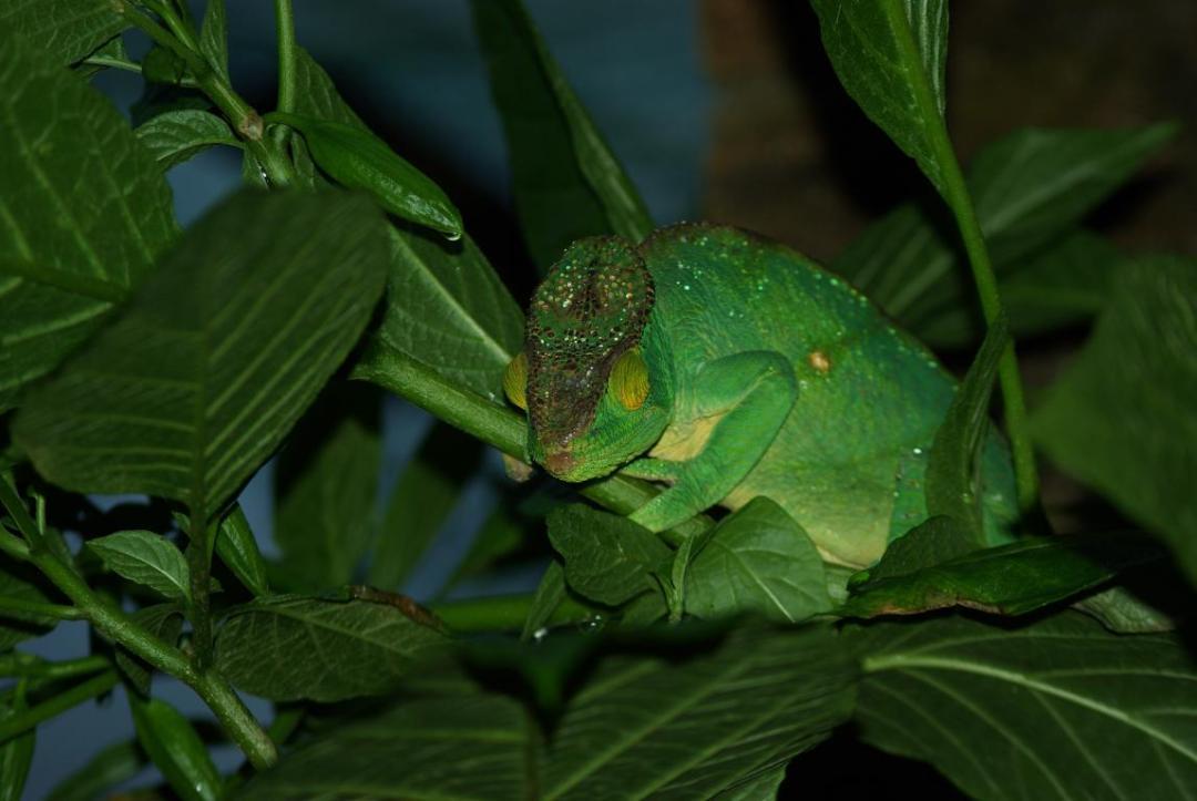 caméléon vert île de Madagascar
