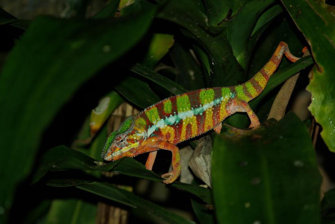 caméléon multi-color île de Madagascar