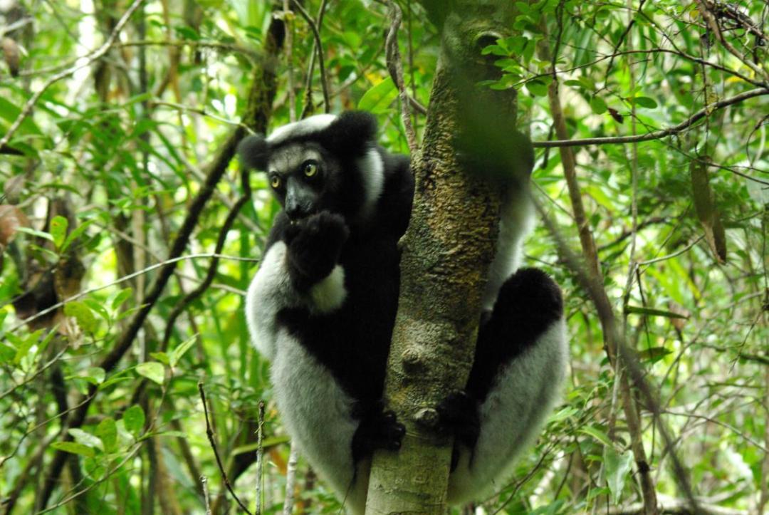 indri lémurien célèbre pour son chant