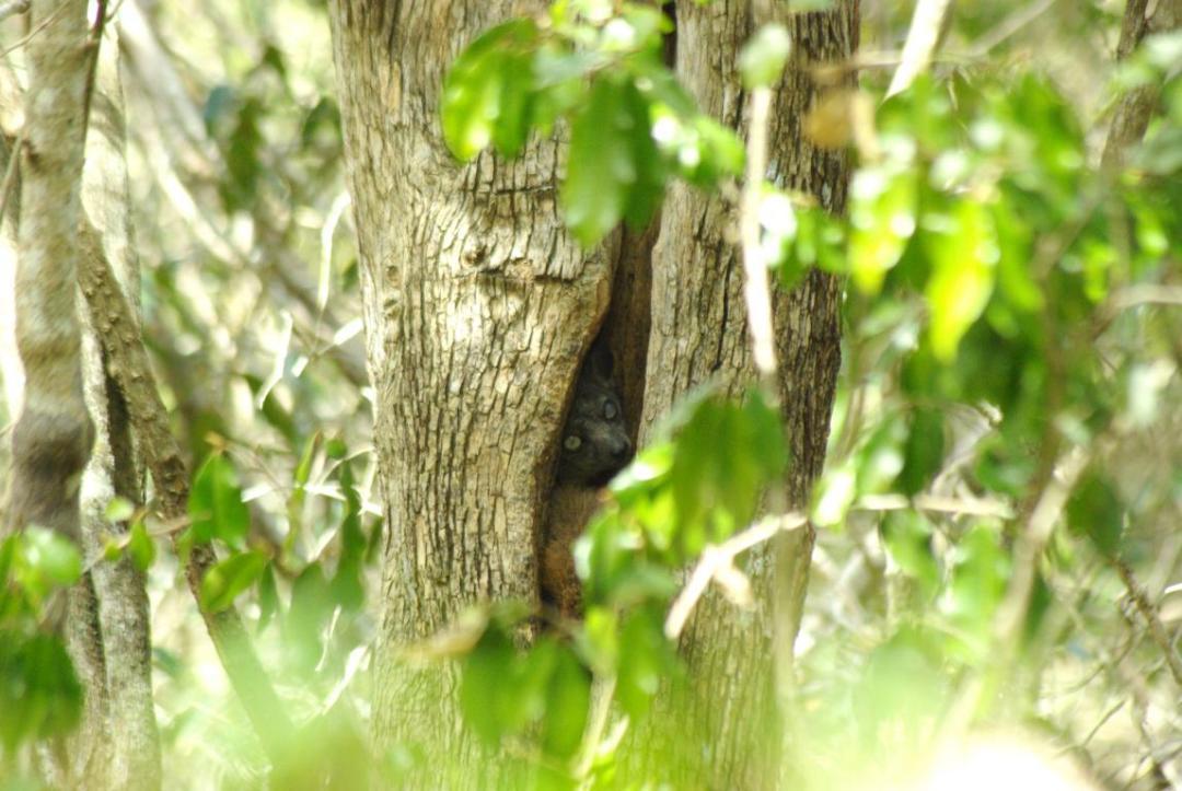 lémurien nocturne île de Madagascar
