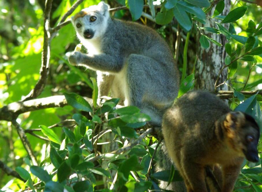 lémuriens sur l'île de Madagascar