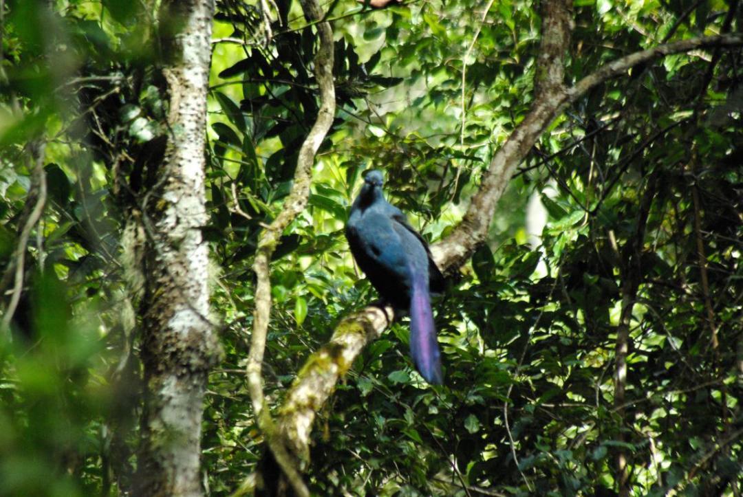 oiseau bleu malgache