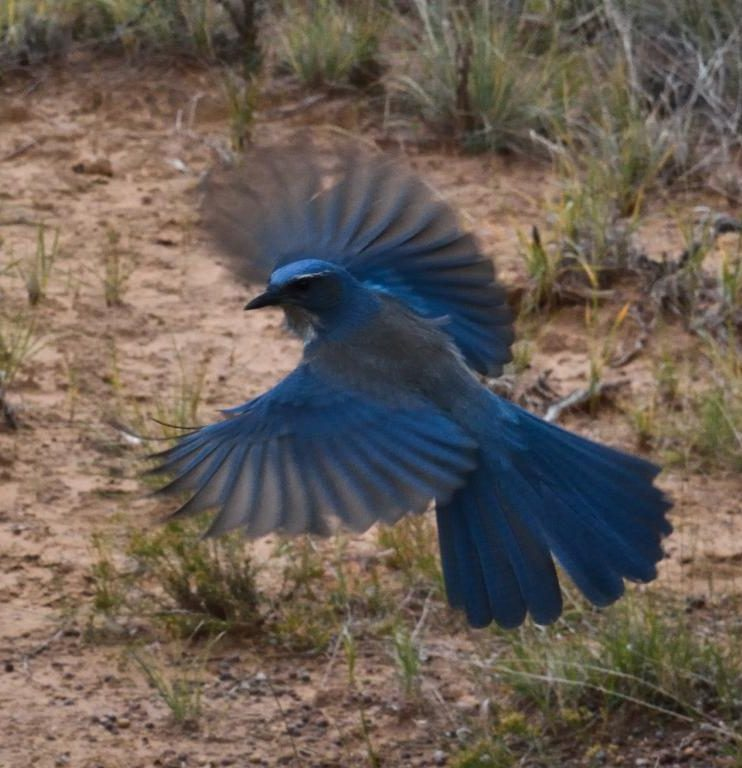 bel oiseau bleu ailes ouvertes