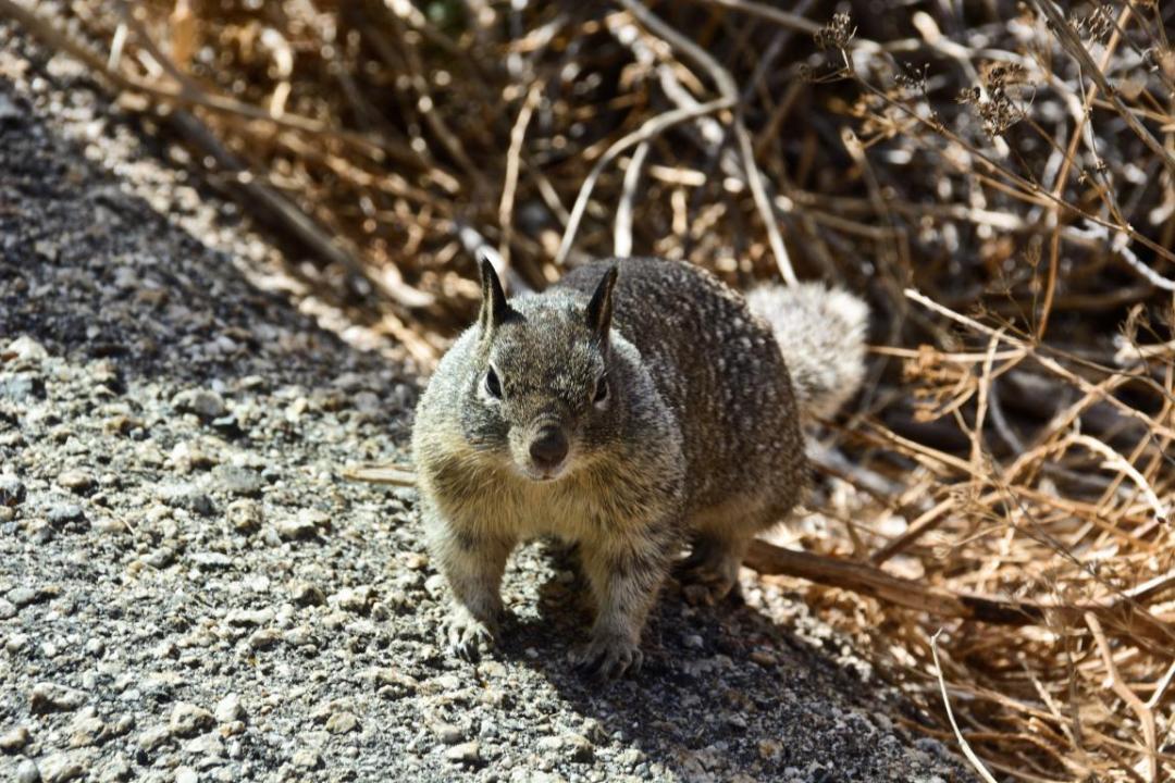 écureuil ouest américain