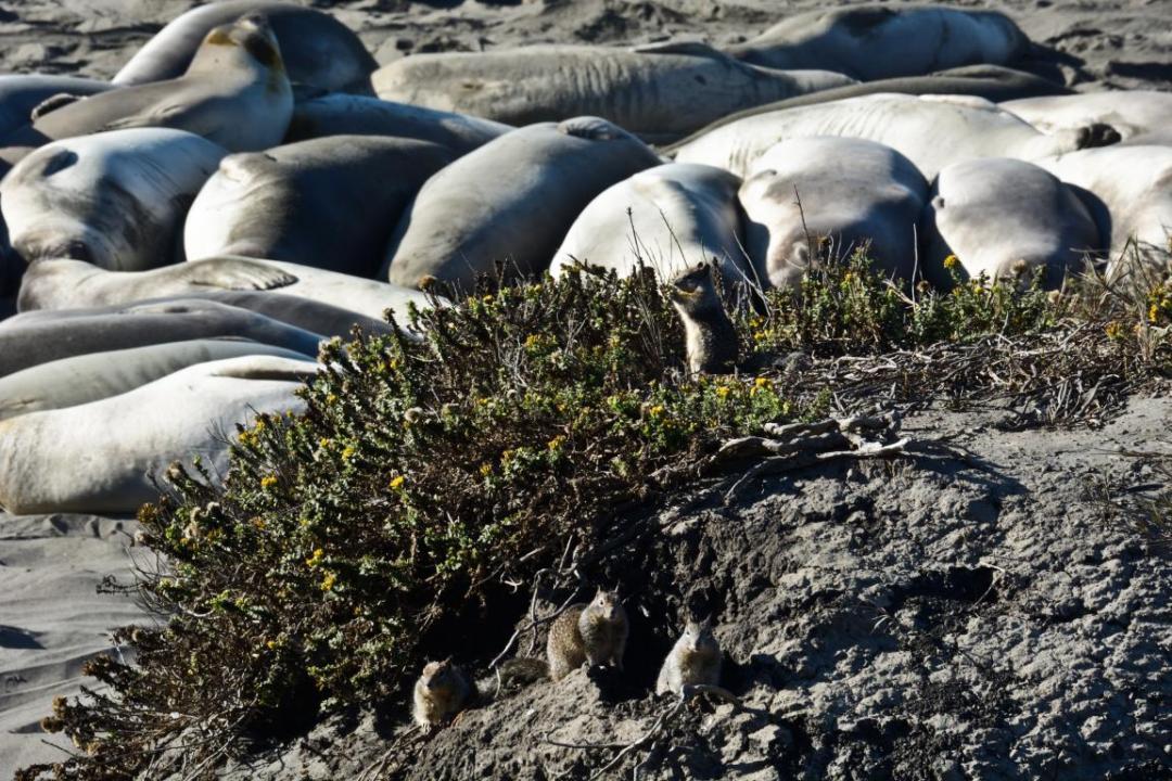 lions de mer san simeon ouest américain