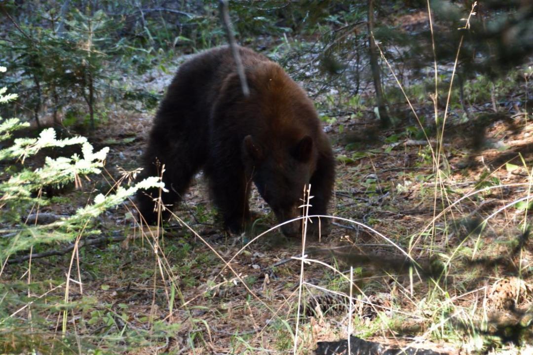 ours noir ouest américain