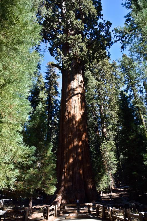 séquoia géant ouest américain