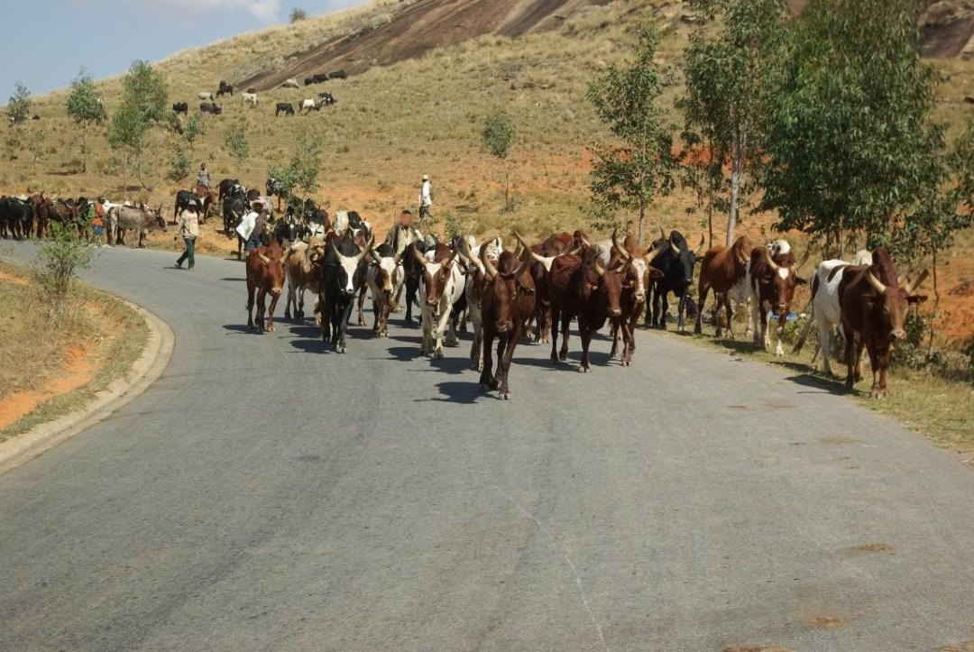troupeau de zébus sur l'île de Madagascar