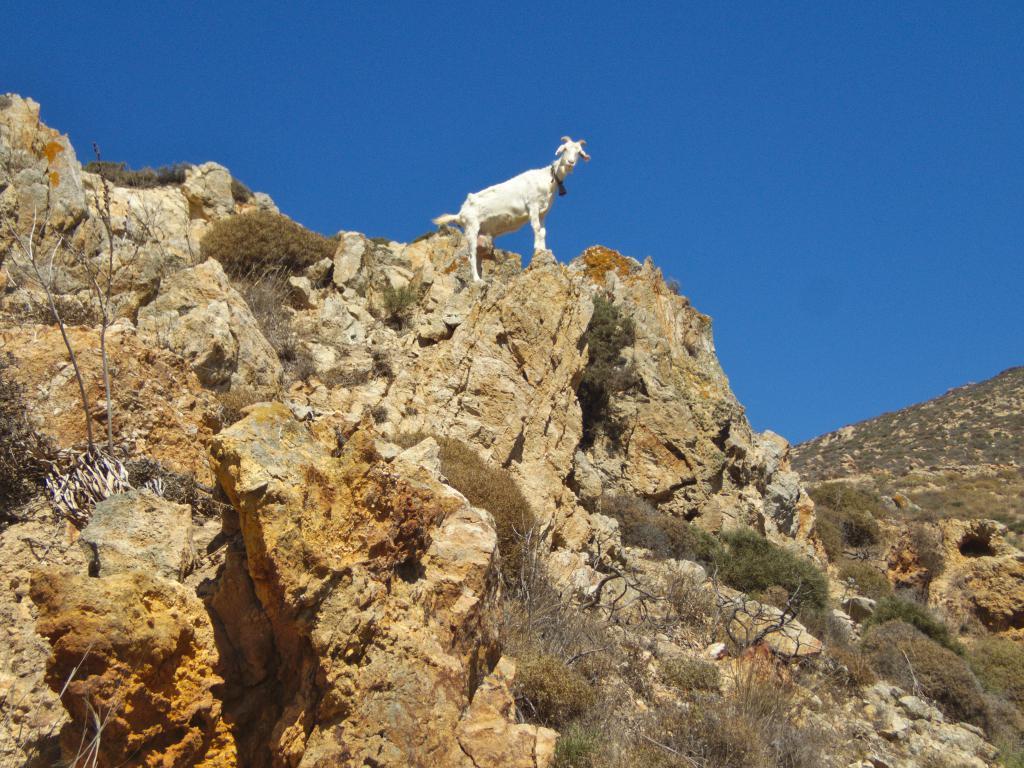 chèvre dans les cyclades sauvages