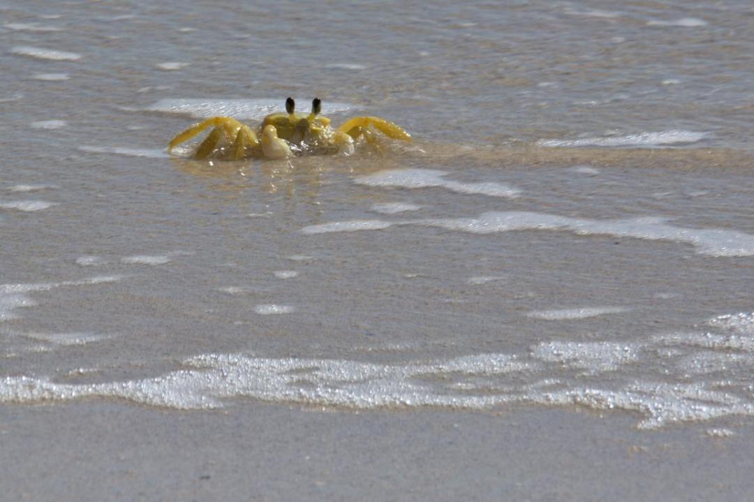 crabe de terre en Martinique dans les caraibes