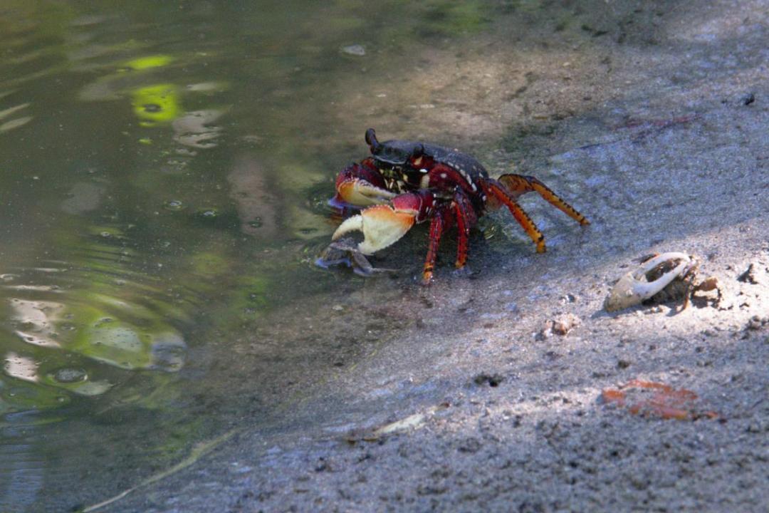 crabe martiniquais dans les caraibes