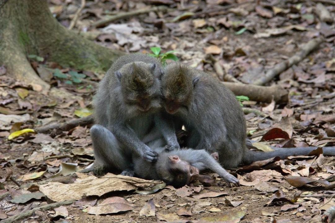des singes qui se cherchent les poux à ali