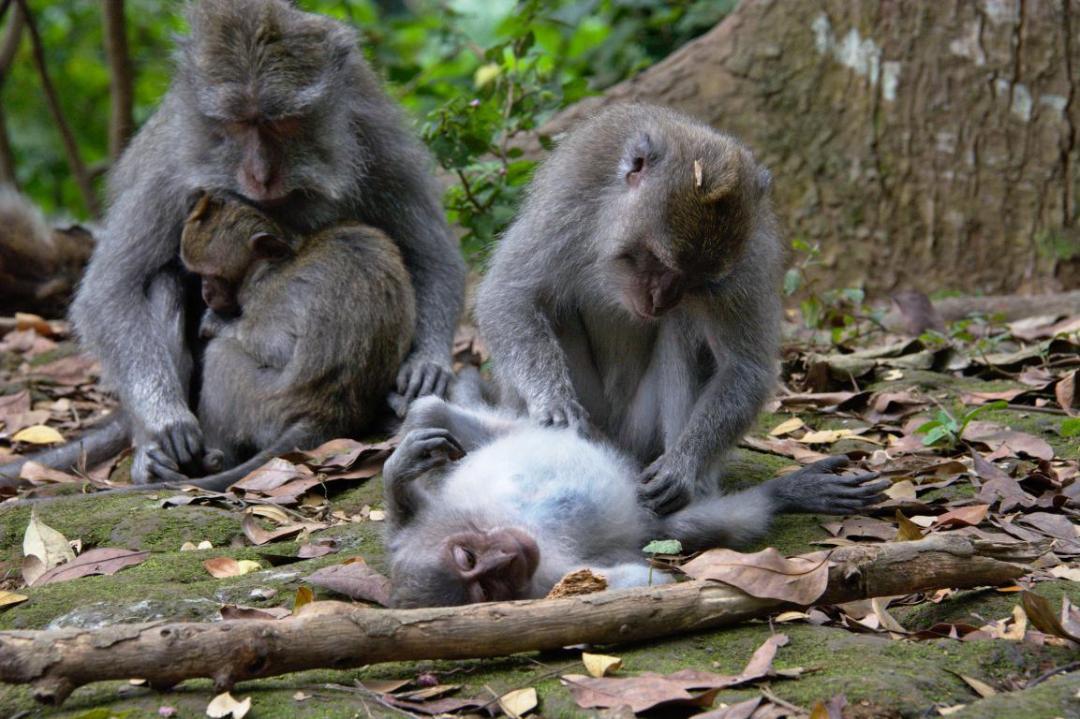 scène de famille dans la forêt des singes en indonésie