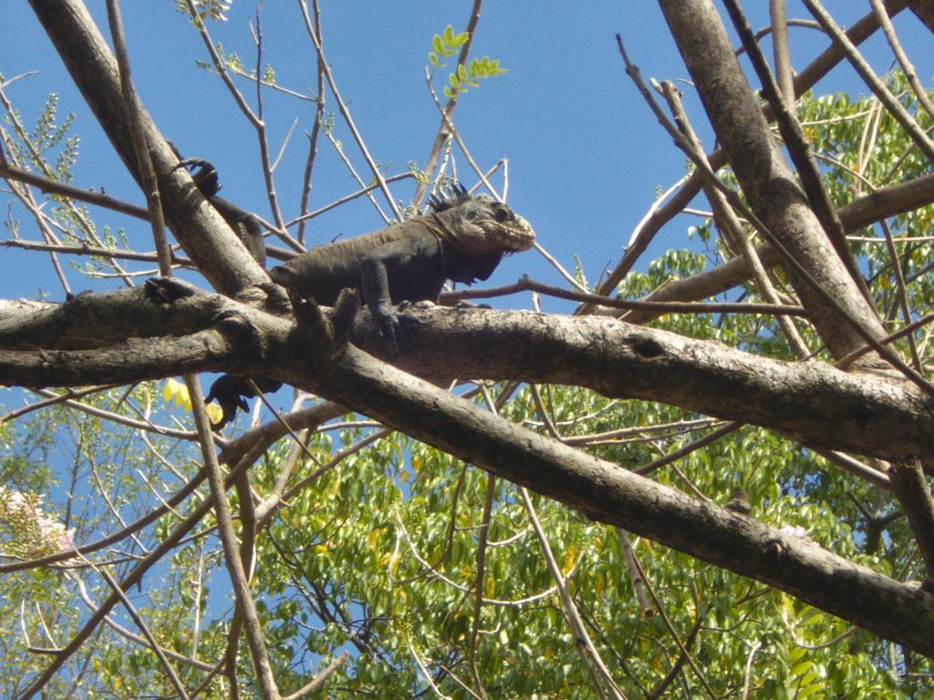 iguane des petites antilles sur l'ilet Chancel dans les caraibes