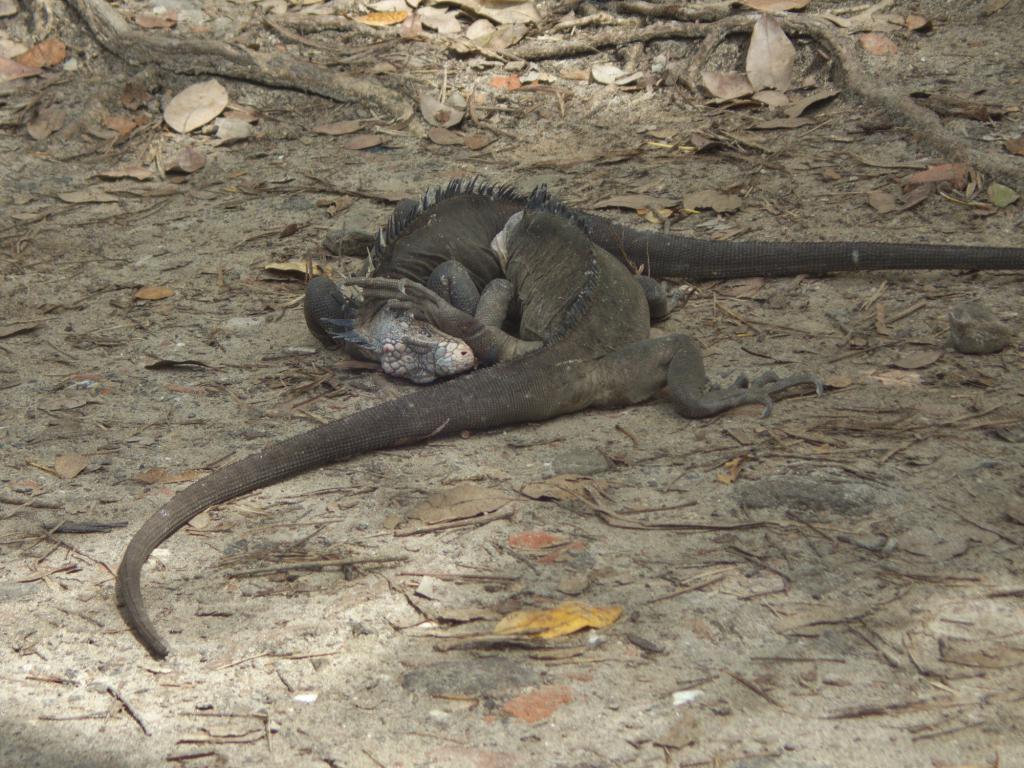deux iguanes des petites antilles dans les Caraibes
