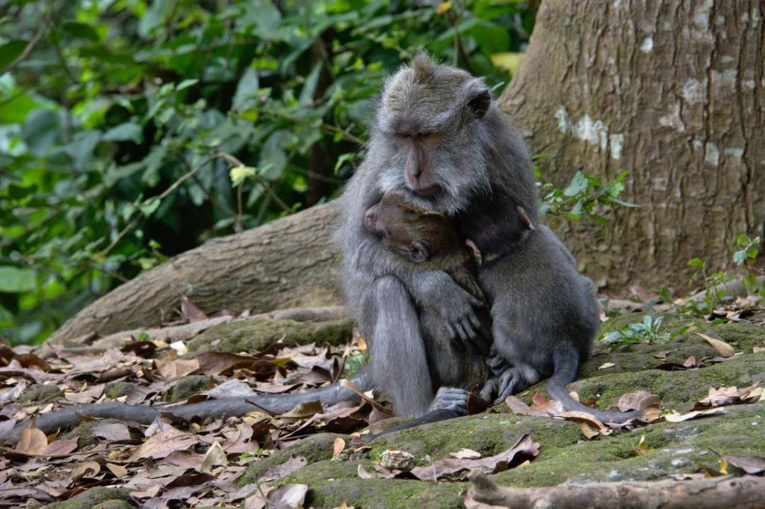 un gros câlin entre une maman singe et ses bébés