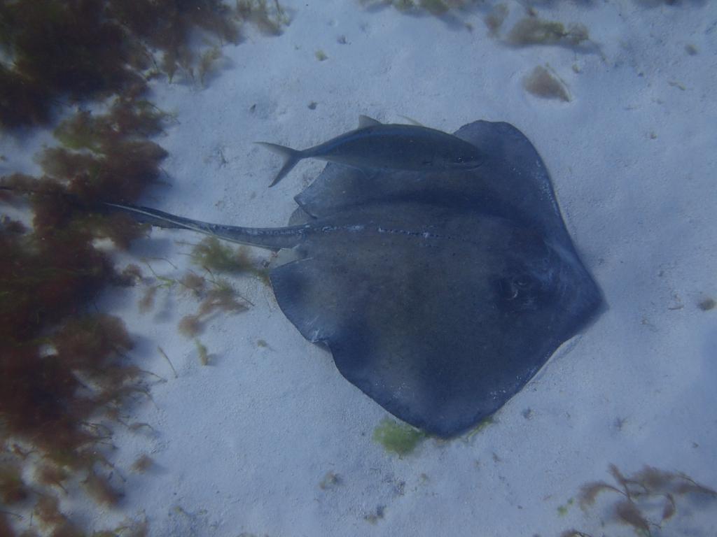 raie dans les grenadines dans les eaux des caraibes