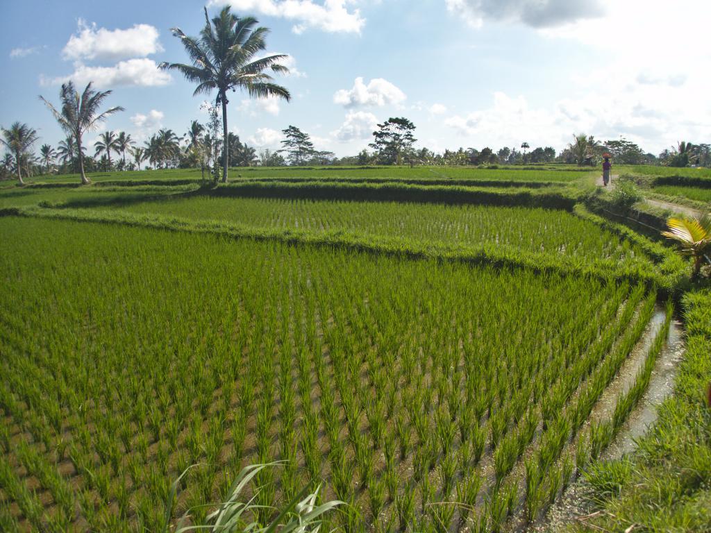 les rizières balinaises en indonésie