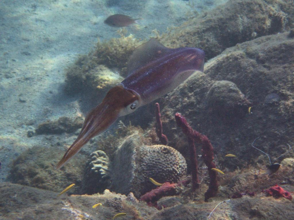 calamar dans les eaux des caraibes