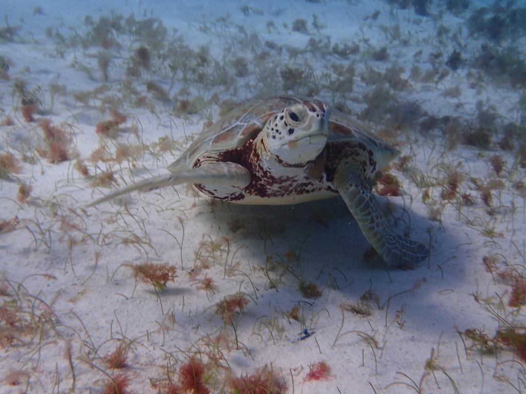 une tortue marine dans les caraibes