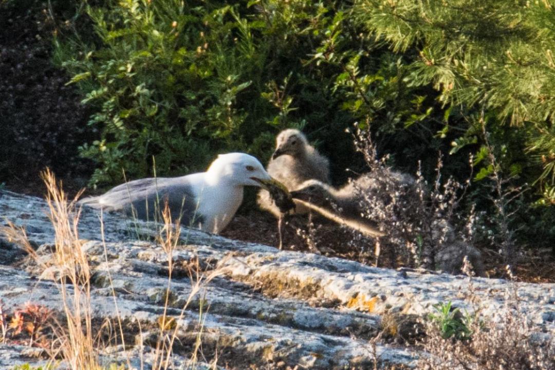 becquée de bébés oiseaux sur l'ile méditerranéenne d'ustica
