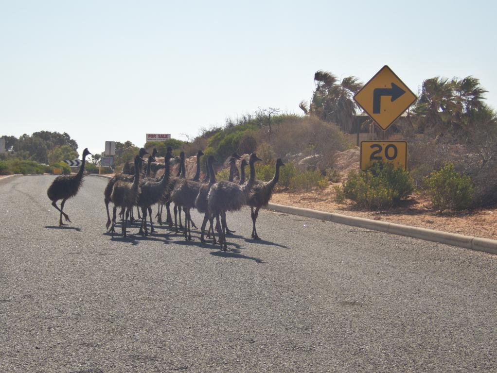 Conduire en Australie : attention aux traversées d'émeus